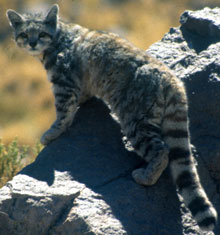 Andean Cat, courtesy of Jim Sanderson