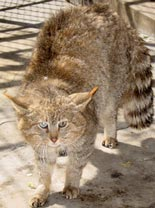 Chinese Mountain Cat, courtesy of Jim Sanderson, Yin Yufeng, Drubgyal, and Ahcu
