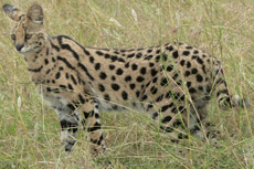 Serval, courtesy of the Wikimedia Commons