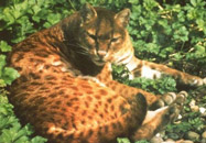 African Golden Cat, courtesy of Neville Buck and Wuppertal Zoo