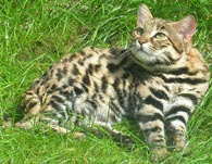 Black-footed Cat, courtesy of Zbyszko