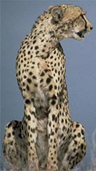 Cheetah, courtesy of USFWS