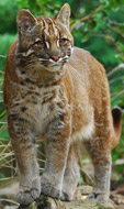 Asian Golden Cat, courtesy of Karen Stout