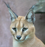 Caracal, courtesy of Eddy Van 3000