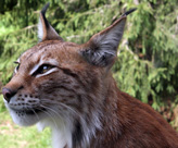 Eurasian Lynx, courtesy of David Castor