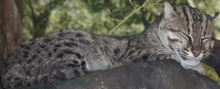 Fishing Cat, courtesy of Ltshears