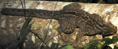 Marbled Cat, courtesy of Johan-Embréus