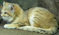 Sand Cat, courtesy of FisherQueen
