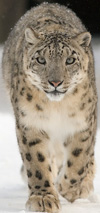 Snow Leopard, courtesy of Bernard Landgraf