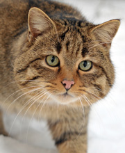 European Wildcat, courtesy of Michael Gabler