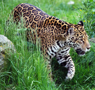 Jaguar, courtesy of PublicDomainPictures.net