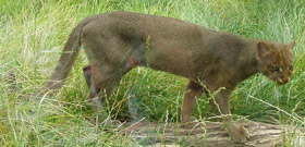Jaguarundi, courtesy of Bodlina