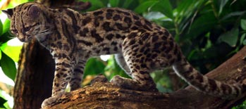 Margay, courtesy of Marlene Thyssen