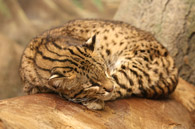 Geoffroy's Cat, courtesy of Ltshears