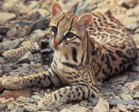 Ocelot, courtesy of Tom Smylie, USFWS
