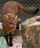 Pantanal Cat, courtesy of Jim Sanderson and Sao Paulo zoo